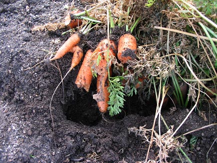 Vole Damaged Carrots