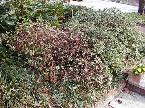 Shrub that is dying due to voles eating the roots