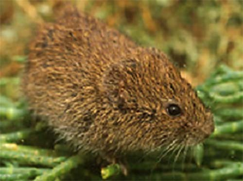 California Vole