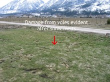 Vole signs in grass after snow melts
