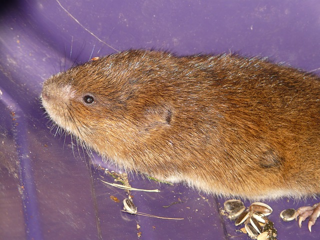 voles are often confused with moles and shrews